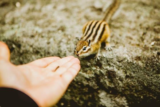 Особую близость первозданной природы чувствуешь, общаясь с местными обитателями. Знаменитые бурундучки Белокурихи охотно отведают лакомство прямо с ваших рук. Впечатления незабываемые!